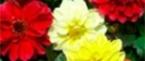 Однолетние семена цветов (Хем Заден)